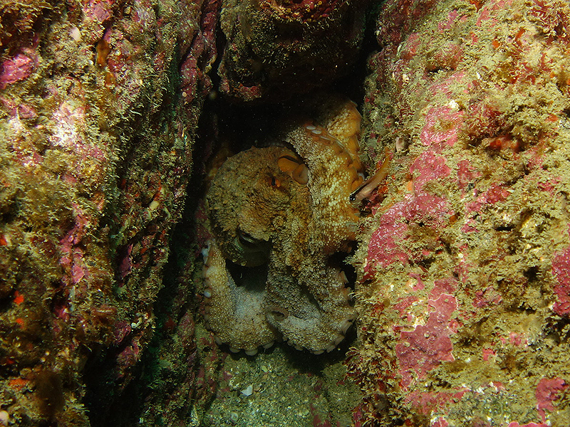 Octopus nestled in crevice
