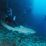Leopard shark and divers